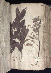 petiver herbarium